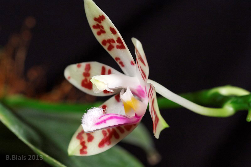 Phalaenopsis Andr� Berbion (corningiana x tetraspis)