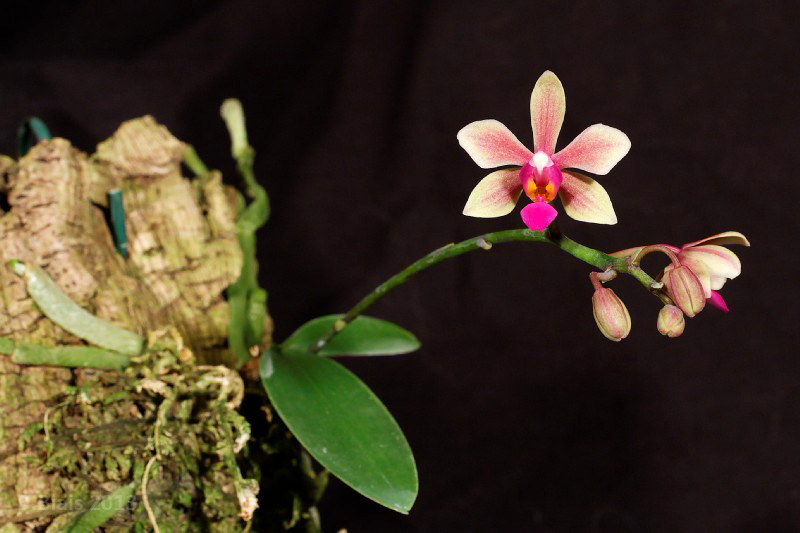 Phalaenopsis Braquestris Melmi