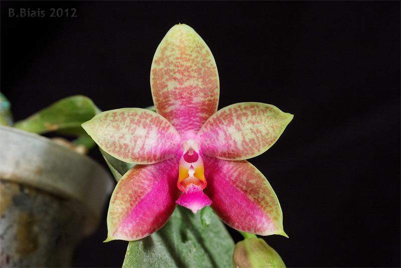Phalaenopsis Corning s Bell