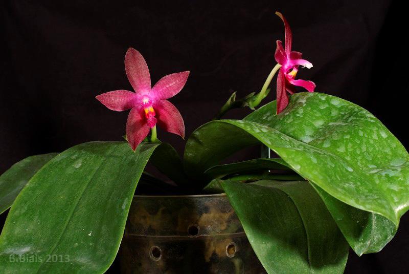 Phalaenopsis Corning s Violet