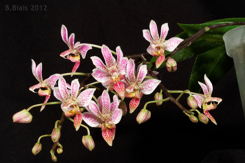 Phalaenopsis Donna's Delight (Phal finleyi x equestris)