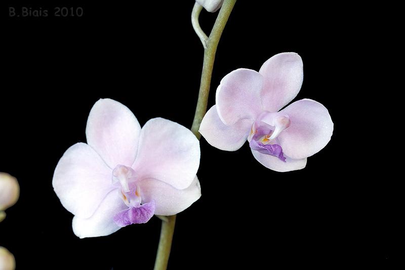 Doritaenopsis Siam Treasure