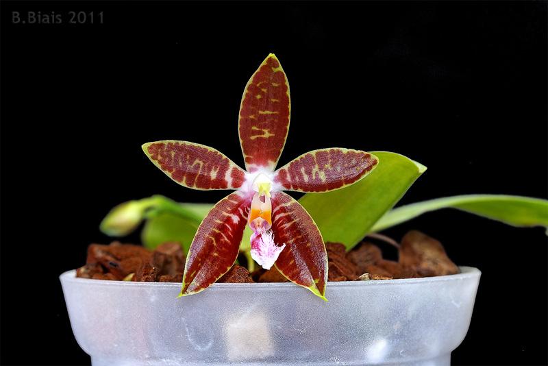 Phalaenopsis Dragon s Fire