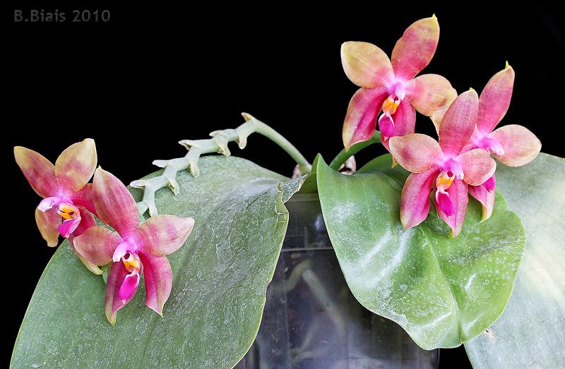 Phalaenopsis Guadalupe Pineda