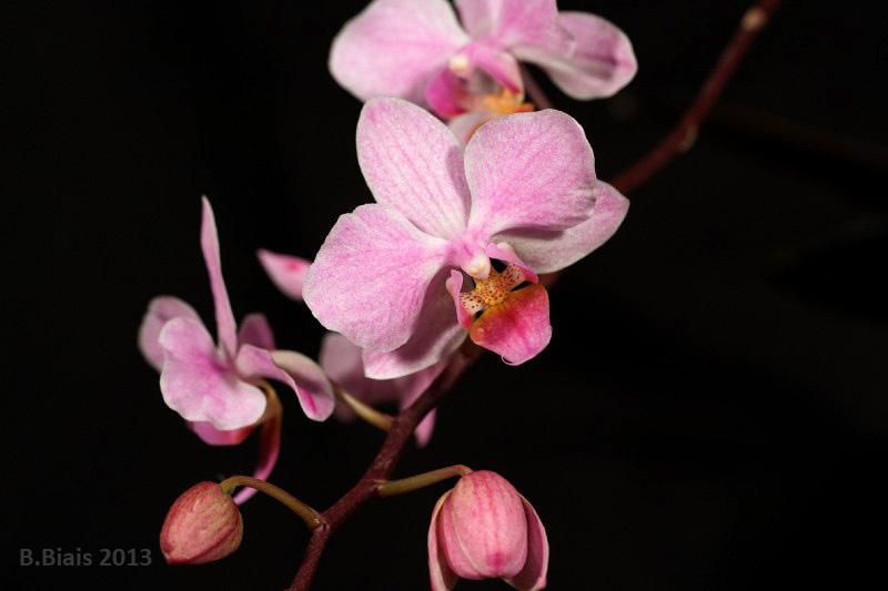 Phalaenopsis Hebe