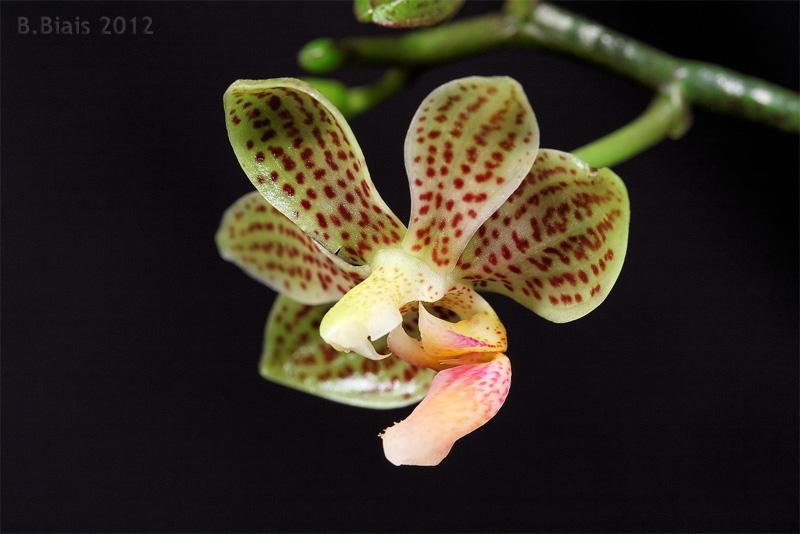 Phalaenopsis Java Mini (Phal javanica x finleyi)