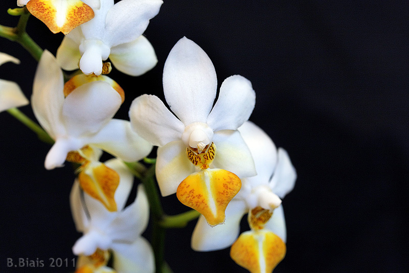 Phalaenopsis Jiaho-s Lovely Star