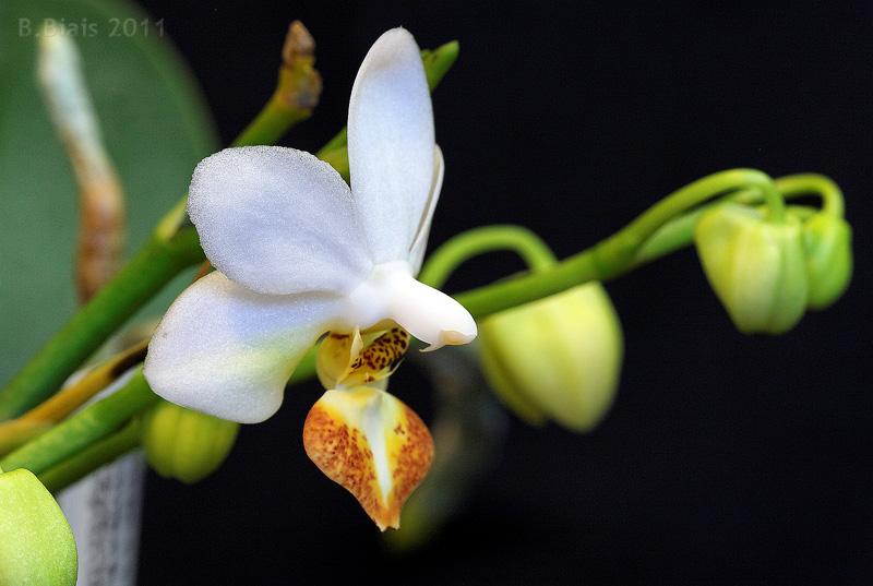 Phalaenopsis Jiaho s Lovely Star