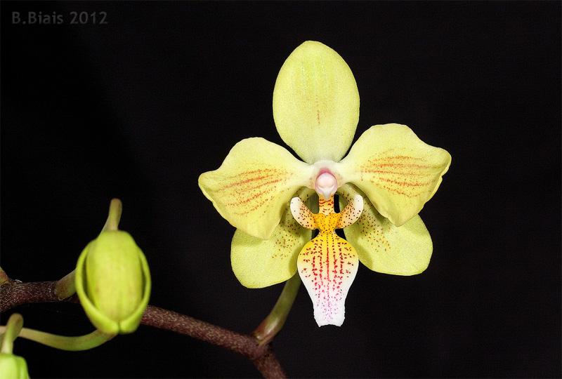 Phalaenopsis Little Dragon /'Yellow/' (Phal. stuartiana nobilis x Phal. celebensis aurea)