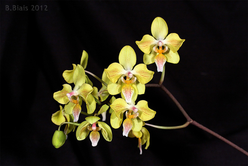 Phalaenopsis Little Dragon
