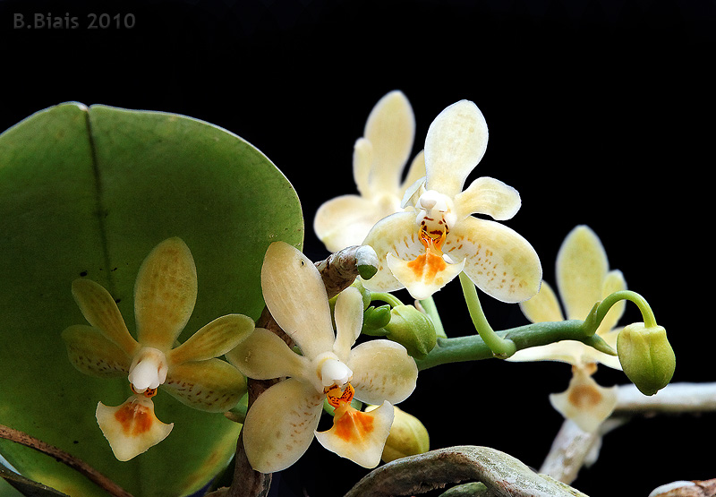 Phalaenopsis Little Green