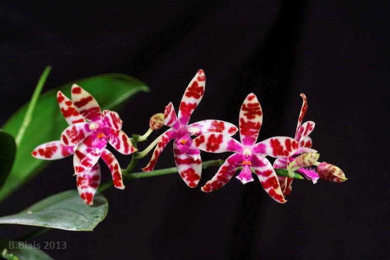 Phalaenopsis Lovely Marie (mariae x bastianii)