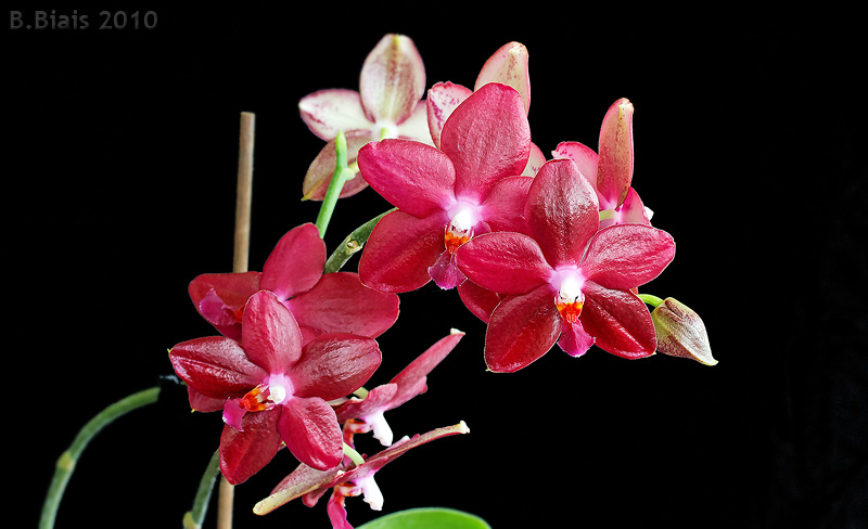 Phalaenopsis MIVA Orchidouxdingues