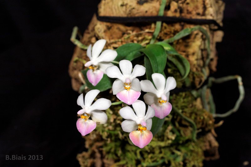 Phalaenopsis Memoria Mildred Holt