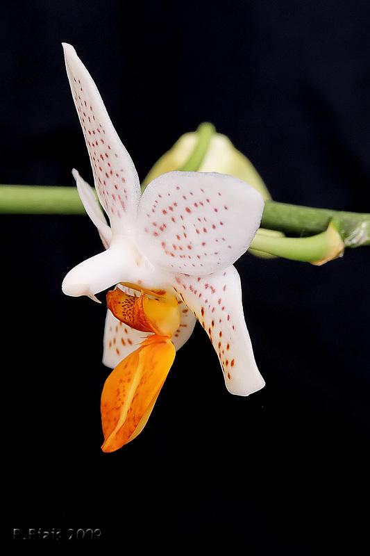 Phalaenopsis Minimark (Phal. Micro Nova (maculata X lobbii) X Phal. Philippinensis)
