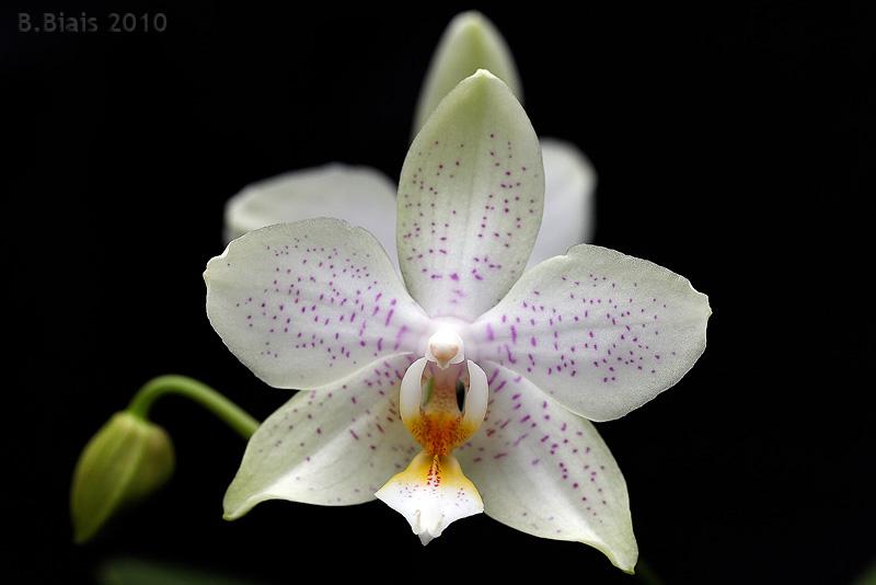 Phalaenopsis Princess Kaiulani x amabilis