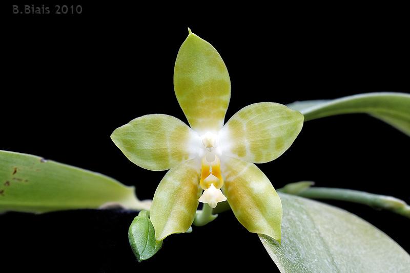 Phalaenopsis Princess Kaiulani var. flava (Phal. violacea  X Phal. amboinensis)
