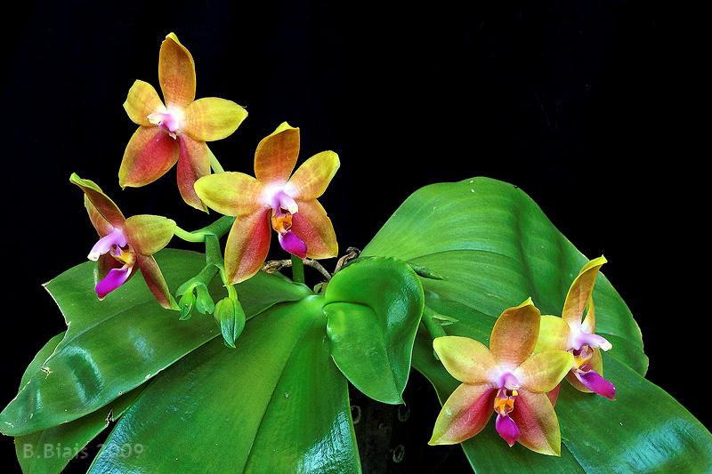 Phalaenopsis Princess Kaiulani (Phal. violacea X Phal. amboinensis)