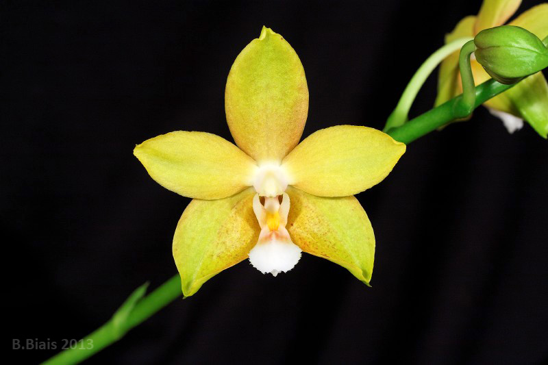 Phalaenopsis Sierra Gold 'Suzanne' FCC/AOS GM/11thWOC