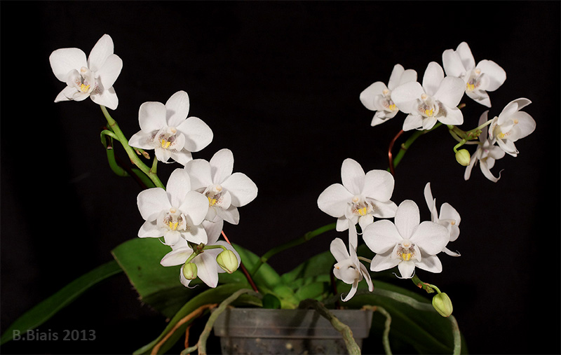 Phalaenopsis Timothy Christopher