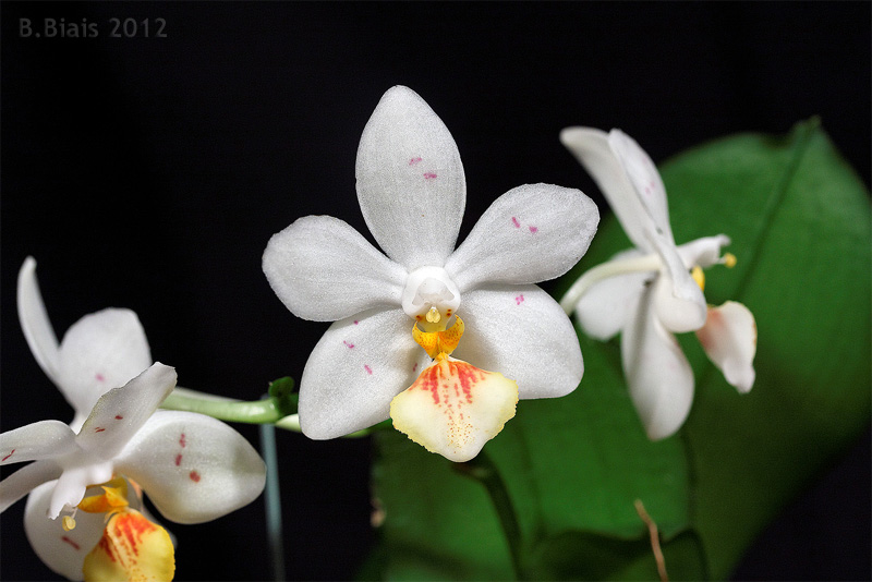 Phalaenopsis Yaphon Lobspis