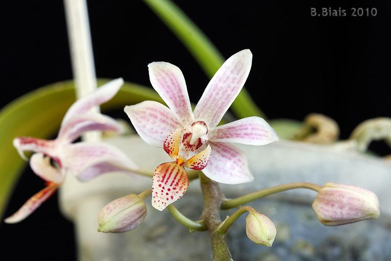 Phalaenopsis minus x Phalaenopsis amboinensis