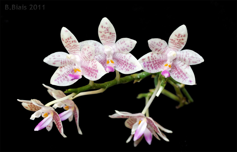 Phalaenopsis High Society (Phal modesta X javanica)