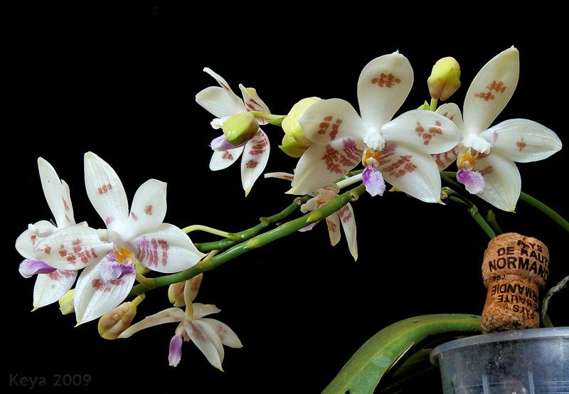Phalaenopsis Palace Florastar