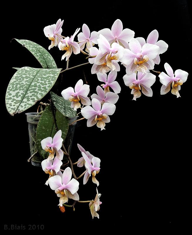 Phalaenopsis Schilleriano-stuartiana