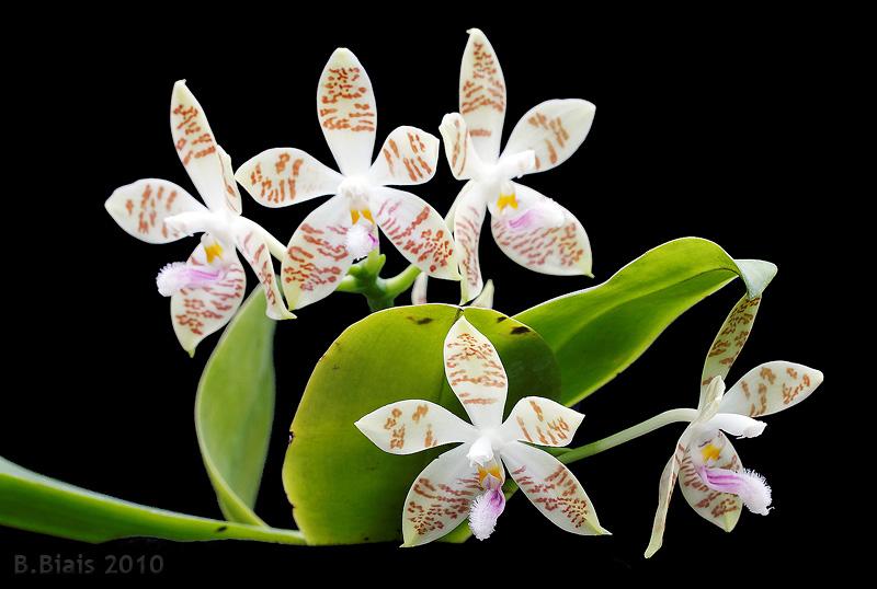 Phalaenopsis Sumaspice (Phal. sumatrana x Phal. tetraspis)