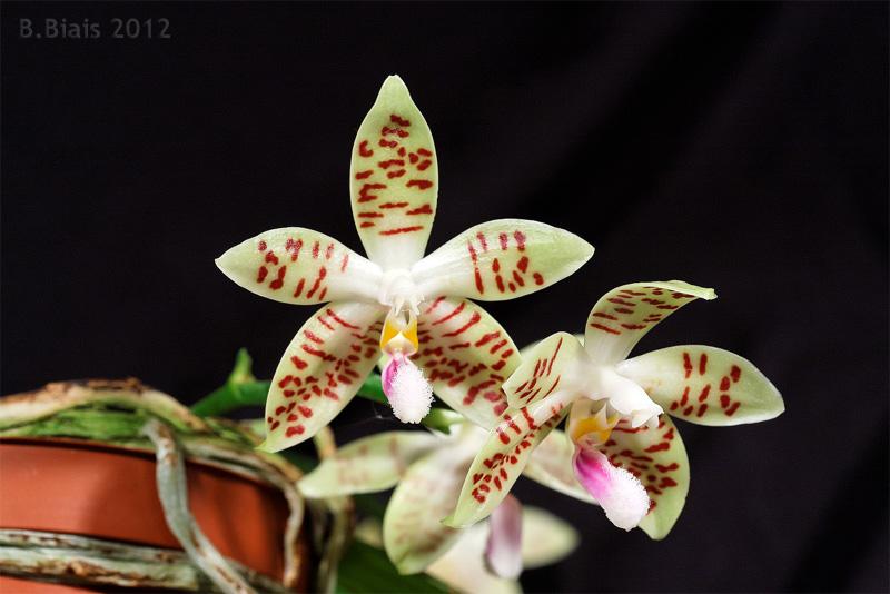 Phalaenopsis Sumaspice (Phal. sumatrana x tetraspis)