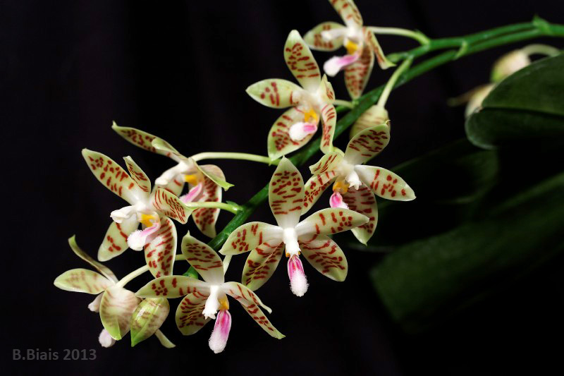 Phalaenopsis Sumaspice (tetraspis x sumatrana)