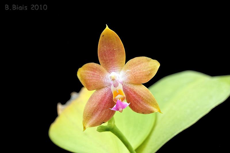 Phalaenopsis violacea X kunstleri