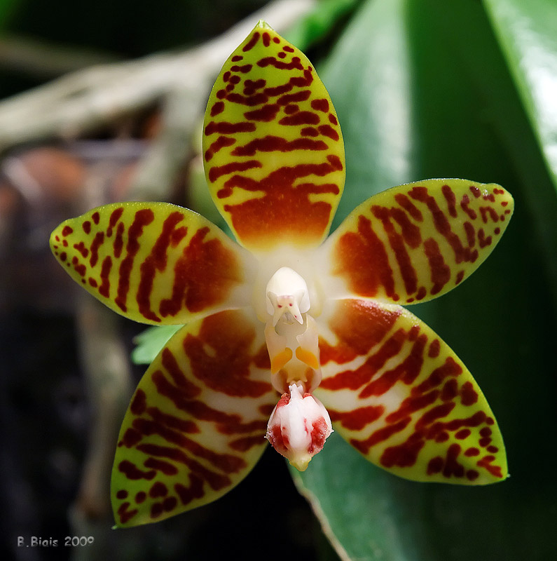 Phalaenopsis amboinensis var. flavida