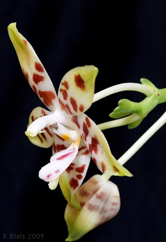 Phalaenopsis amboinensis