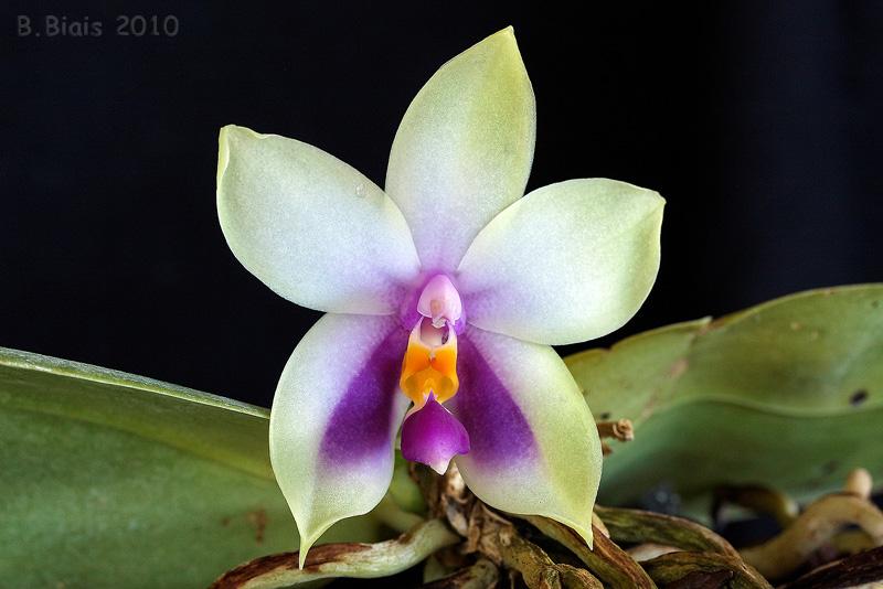 Phalaenopsis bellina coerulea