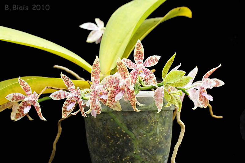 Phalaenopsis hyeroglyphica
