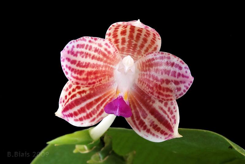 Phalaenopsis javanica