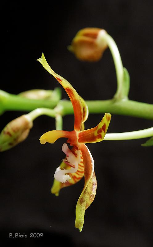 Phalaenopsis mannii
