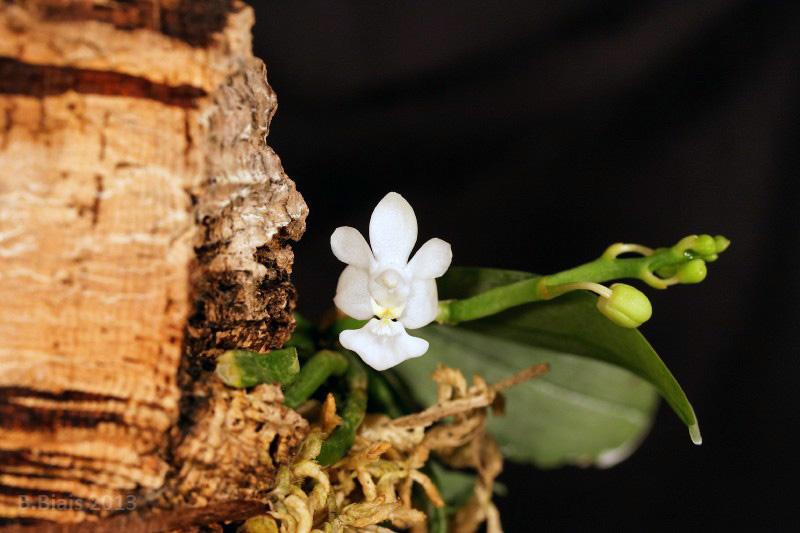 Phalaenopsis parishii var alba