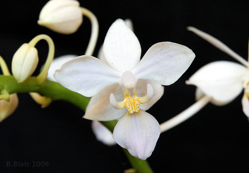 Phalaenopsis equestris var. albescens
