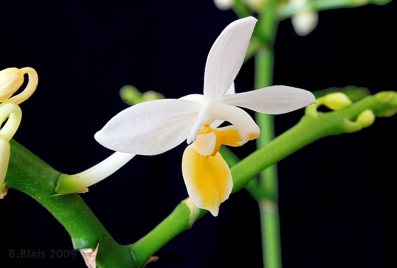 Phalaenopsis equestris var. aurea