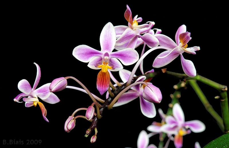 Phalaenopsis equestris var. splash