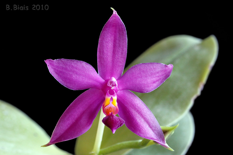 Phalaenopsis violacea Org Malaysia 'Donker'