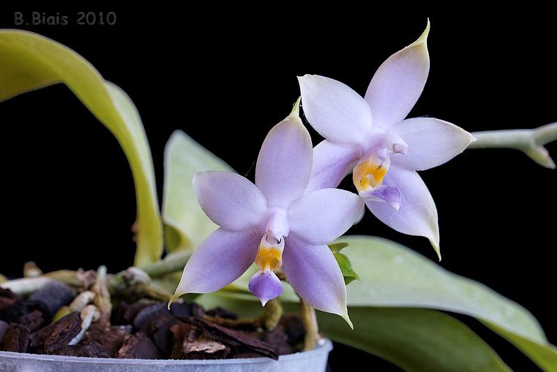 Phalaenopsis violacea var coerulea Org sumatra