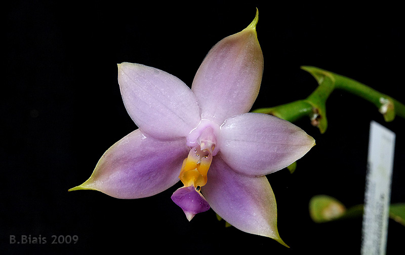 Phalaenopsis violacea org. Sumatra var. coerulea
