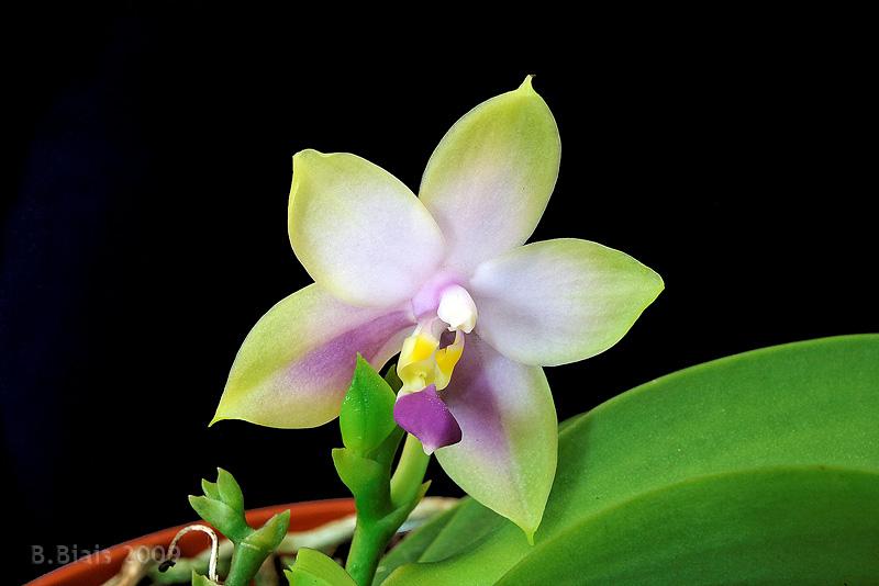 Phalaenopsis bellina var. coerulea
