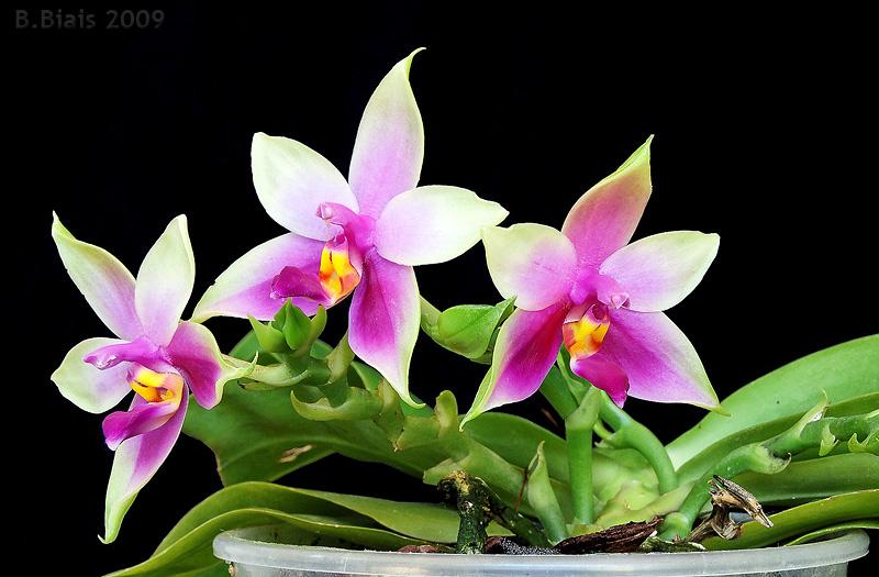 Phalaenopsis violacea alba X Phalaenopsis violacea coerulea