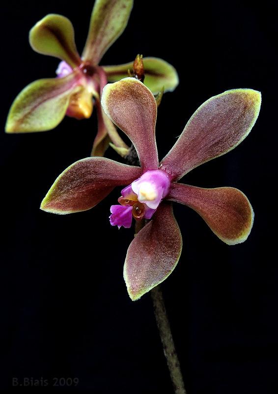 Phalaenopsis braceana