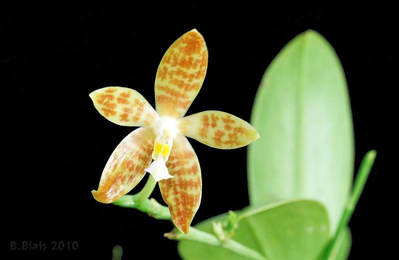 Phalaenopsis pallens var. trullifera